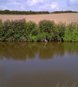 A Heron in the Water.