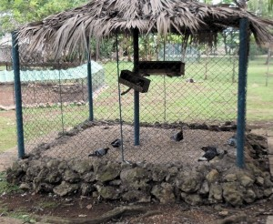 "A ""zoo"" with domestic pigeons"