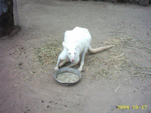 albinoroo