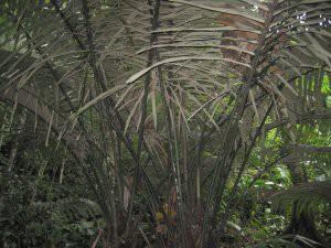 jungleplant