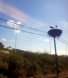A storks nest on top of a telegraph pole
