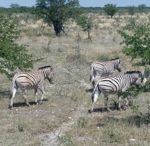 A group of Zebra