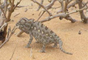 A Chameleon