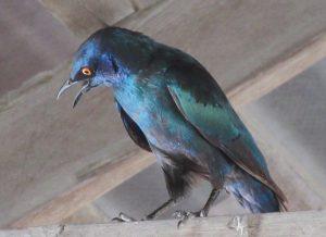 Cape Starling, Etosha