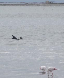 Dolphins at Walvis Bay