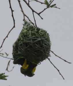 Zebra lodge weaver bird at its nest